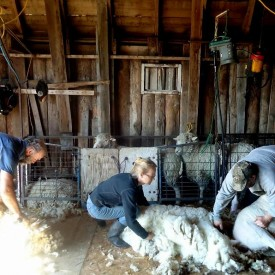 Shearing sheep and gathering wool.
