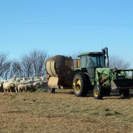 Shredding hay for the ewes. Photo credit: Denise King